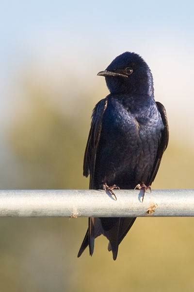 Purple Martins love Lake Murray!